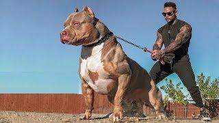 दुनिया के 5 सबसे खतरनाक Body वाले कुत्ते। Top 5 Most Muscular Dog Breeds.