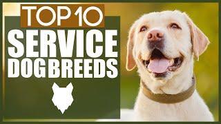 Top 10 SERVICE DOG BREEDS