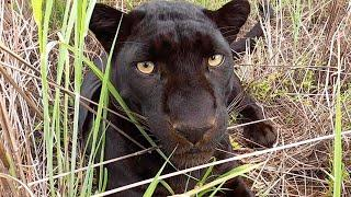 Black Leopards Scents and Sense Abilities - Smell | The Lion Whisperer