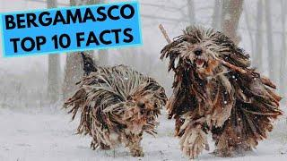 Bergamasco Dog Breed - TOP 10 Interesting Facts