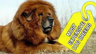 Top 10 World's Most Expensive Dog Breeds 2020