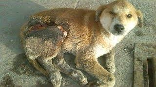 Rescue Poor Dog Suffered serious accident lying on the streets for 10 days without help