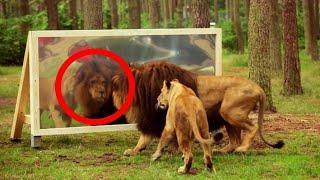 Veja Como é a Reação dos Animais Ao Se Verem no Espelho