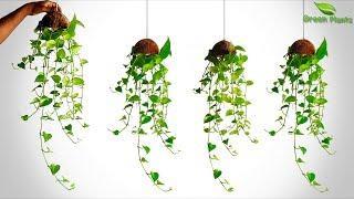 New Way to Grow Money Plant/Hanging Money plant/Money plant Vine Hanging/Hanging Plant//GREEN PLANTS
