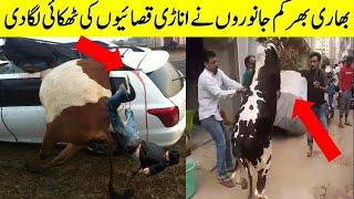 Anari qasai Vs dangerous  bulls and camels | Funny Qurbani videos 2020