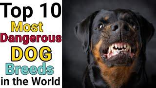 Top 10 Most Dangerous Dogs Breeds in the world/Country. #Shorts #YoutubeShorts #theanimalpaw